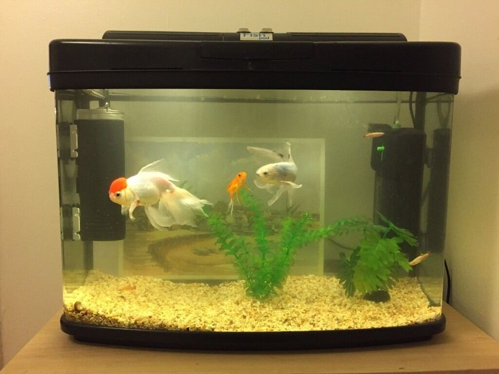 65l aquarium fish tank incl redcap oranda 2 common for Fish tank for goldfish