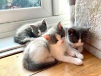 Ragdoll Cross kittens- READY NOW