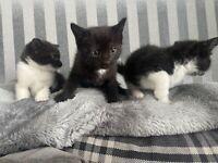 Kittens, one black male left ready now