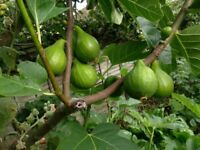 FIG & VINE TREES Origin Italy, well acclimatized to this country for the last 50 years