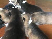 Adorable blue-eyed husky babies