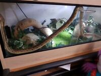 Dwarf Reticulated Python , 9 months old, full set up, needs home asap