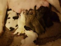 French bulldog pups ready middle of February NOT kc reg Butcombe bother parent's can be seen