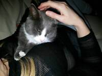 Missing grey and white cat ahoghill