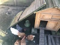 6 Chickens + coop, feeder & drinker