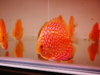 Red map Discus fish