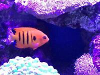 Marine flame angelfish (tropical,tank,corals)