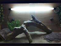 Male 4yo Bearded Dragon with 4ft Vivarium