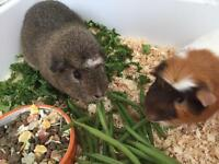 2 FRIENDLY MALE GUINEA PIGS