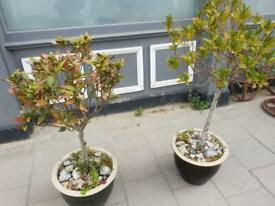 Pair Of Large Bay Trees In Matching Pots
