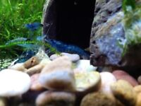Blue and Red cherry shrimps