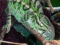 Carpet Lizard