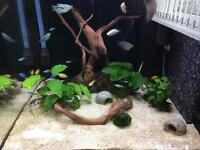 Planted wood for fish tank