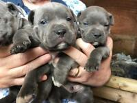 Blue Staffordshire bull terrier pups from champion bloodlines kc registered