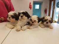 Stunning Shih Tzu puppies ready now