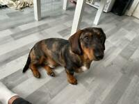 9 months old dachshund