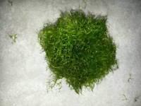Fresh water moss