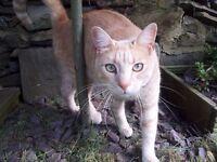 Missing light ginger tabby cat - still missing 9th Jan