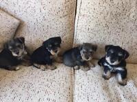 Schnazure x Yorkshire terrier puppy's