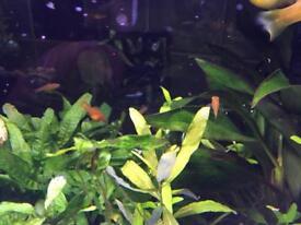 Baby goldfish £1 each