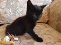 Joyfull black female kitten
