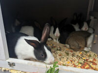 Beautiful Dutch Rabbits - Low Prices! (£10 Each)