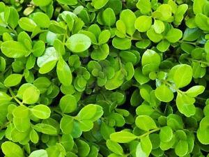 Pianta di buxus rotundifolia bosso siepe verde forme for Bosso siepe
