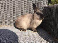 Netherland Dwarf Sable Doe for sale