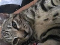 Bengal kitten 12 weeks ready to go