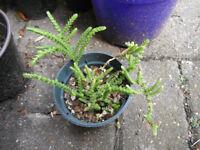Plants for sale-Crassula Muscosa in 10 cm pot