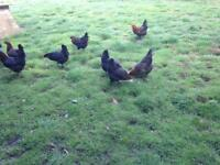 CHICKENS FOR SALE. BLACK ROCK AND HIGHLINE point of laying