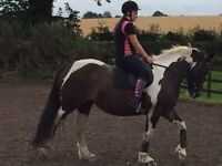 15.2 Mare for sale