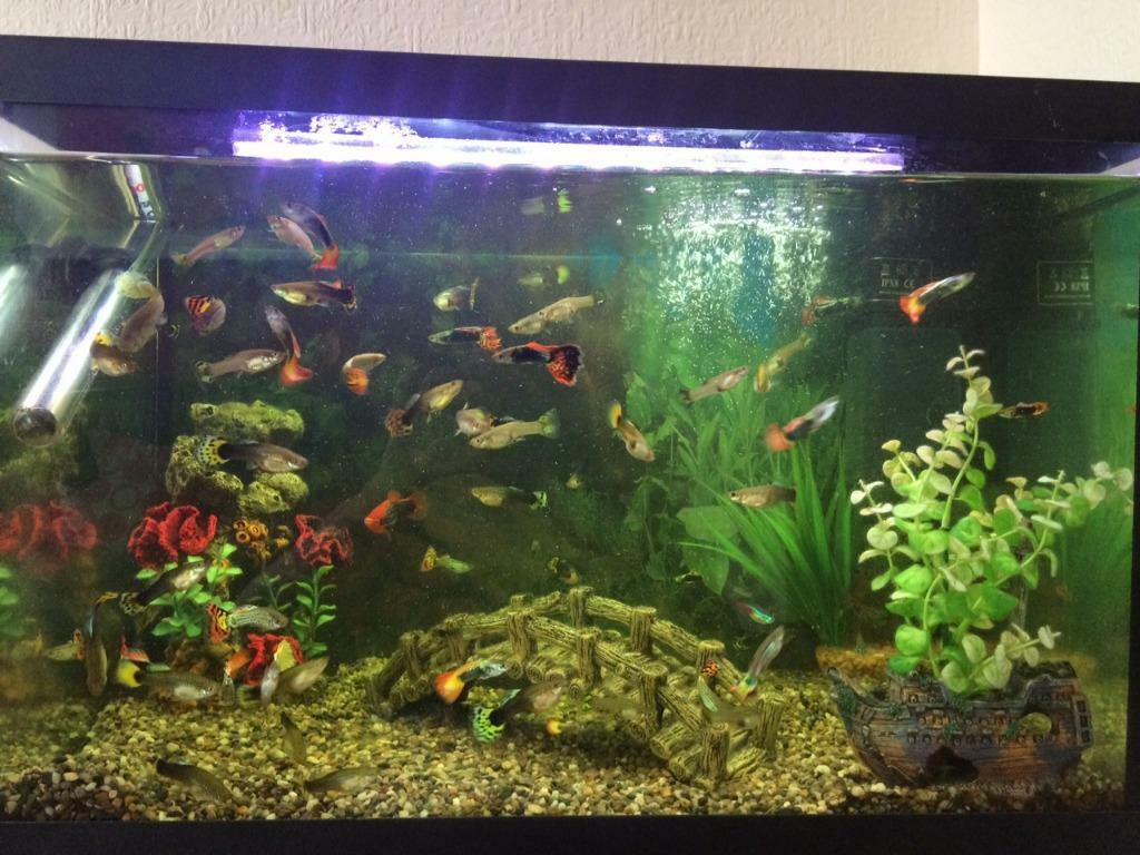 Aquarium together with 1235997862 likewise 1125468769 also 1122433778 also Image Gallery. on oscar cichlids and a flowerhorn