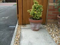 six box hedge plants inlarge terracotta plant pots H70cm /w31cm £30for the six £6each see pic