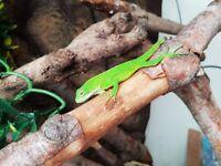 CB18 Fiji Iguana for sale (Brachylophus fasciatus)
