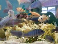 Tropical African cichlids fish
