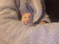 Male Hamster - Friendly, Doesn't bite, Loves to be held