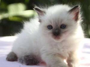 RAGDOLL KITTENS WANTED!!! Eastlakes Botany Bay Area Preview