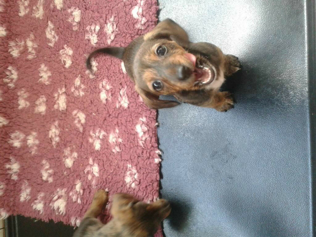 Miniature Dachshund Cross Jack Russel Puppies In Welling