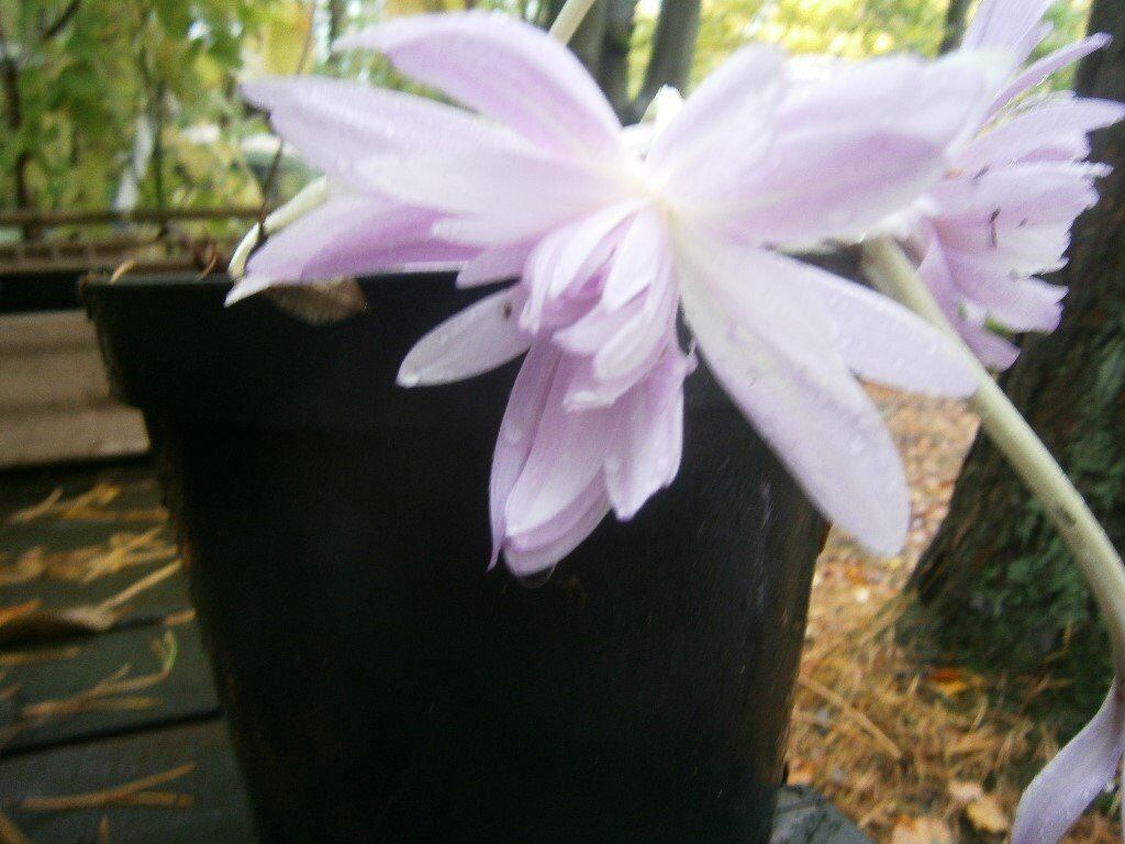 Autumn Flowering Crocus Potted Water Lilly Perennial Gardenpatio