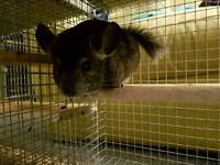 Friendly Baby Chinchilla Male and Cage