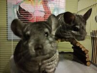 2x Beautiful Girl Sisters Grey Coat Chinchillas Needing a New Home with Cage Toys Food etc 3yrs old
