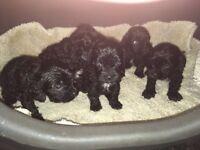 Lovely cavapoo puppy's