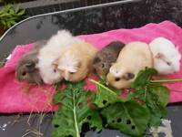 Baby Guinea Pig Sows