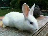 New Zealands Rabbits for sale