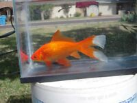 Large common goldfish