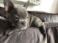 French Bulldog Litter - Lilac Crew