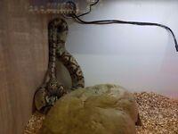 Snake royal python approx 3ft