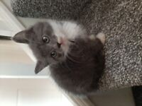 Grey Male kitten looking for forever home