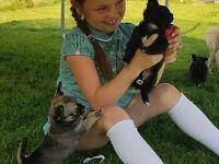 4 pedigree longcoat chihuahua puppies